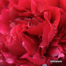 Red Paeony